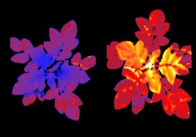 Thực vật kỳ diệu phát sáng khi bị stress căng thẳng