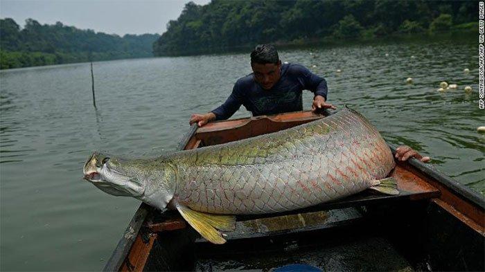 Thủy quái vùng Amazon hồi sinh trong tự nhiên