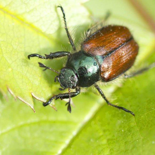 Tìm hiểu về loại bọ cánh cứng phá hoại mùa màng ở Việt Nam