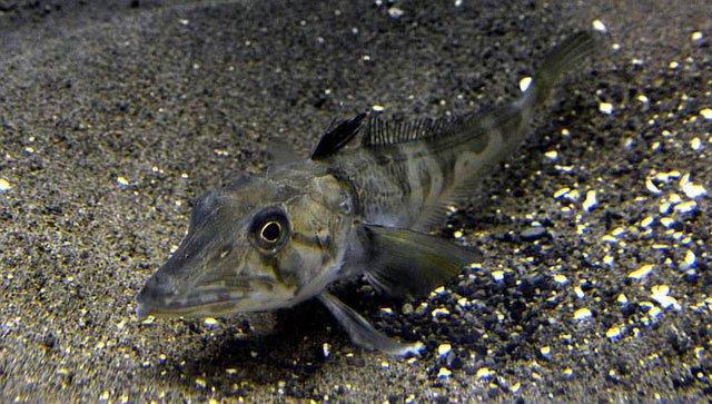 Tìm ra bí mật của loài cá máu trong suốt kỳ lạ