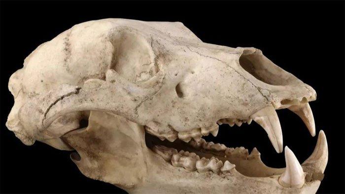 Tìm thấy bằng chứng gấu nâu 32.500 năm trước đã từng sống ở gần Tokyo