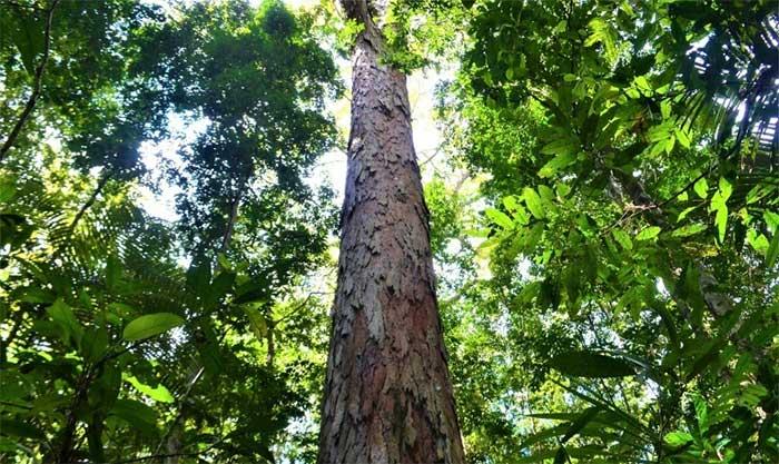 Tìm thấy cây cao nhất trong rừng Amazon