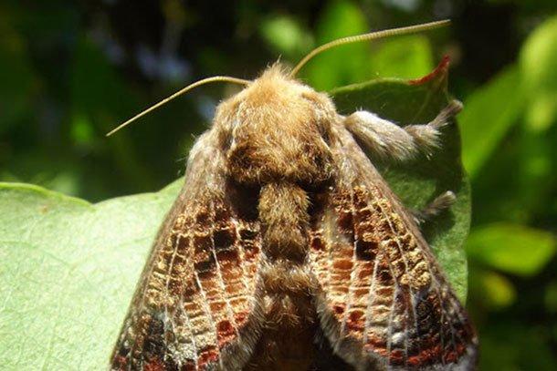 Tìm thấy chất độc trong sâu bướm có tác dụng y học