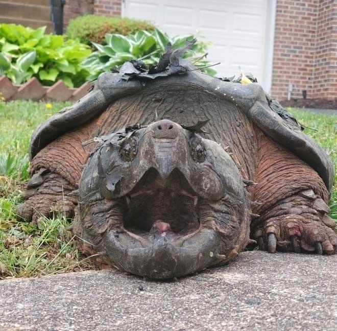 Tìm thấy rùa cá sấu khổng lồ trong khu dân cư ở Mỹ