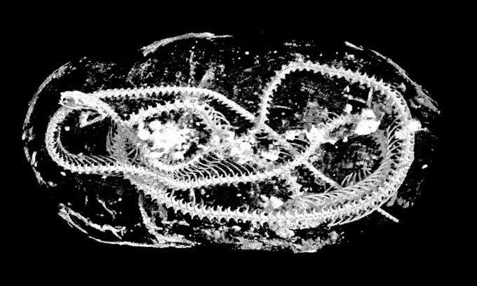 Tìm thấy xác ướp rắn hổ mang hơn 1.000 năm tuổi