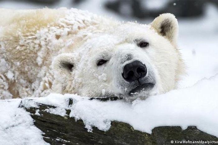 Top 10 sự thật thú vị về gấu Bắc Cực