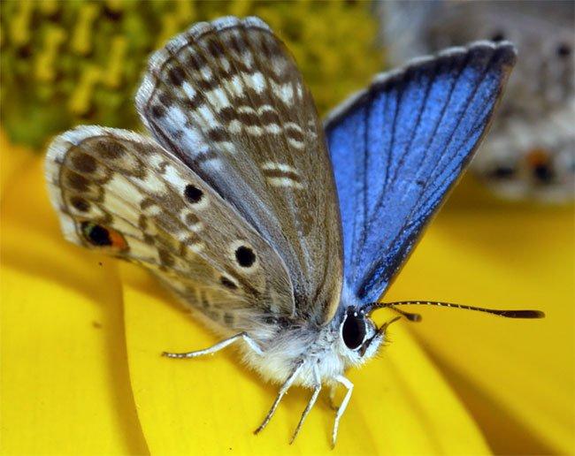 Top 7 loài bướm hiếm nhất thế giới