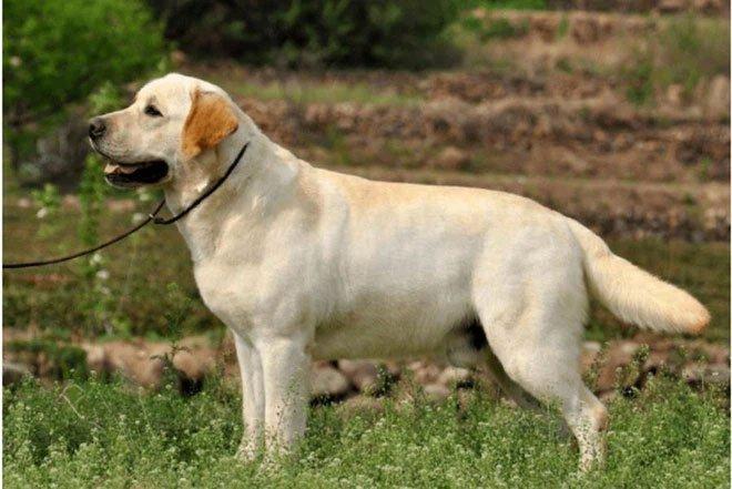 Top 9 loài chó có tuổi thọ thấp nhất thế giới: Đừng nuôi vì bạn sẽ buồn khi chúng rời xa!