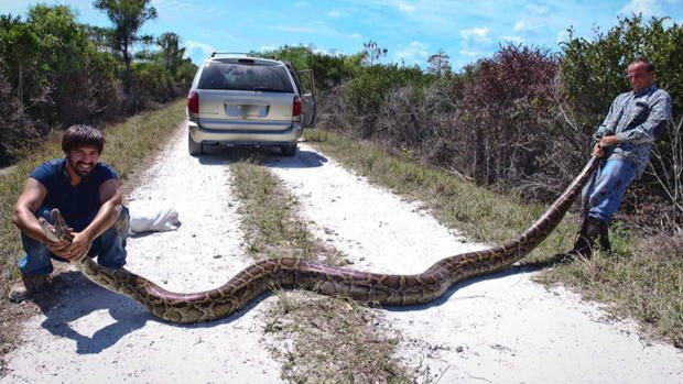 Trăn khổng lồ xâm chiếm Florida: Chính quyền bó tay, xem xét kêu gọi người dân ăn thịt