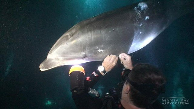 Trí thông minh đáng kinh ngạc của cá heo: Biết tìm đến thợ lặn để cầu cứu khi bị thương nặng