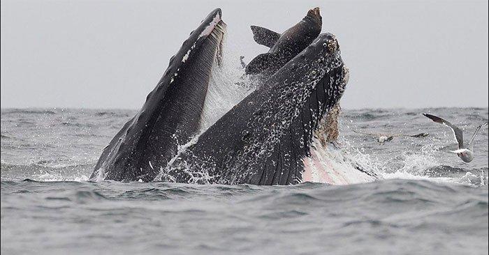 Trôi vào miệng cá voi, sư tử biển thoát chết trong gang tấc