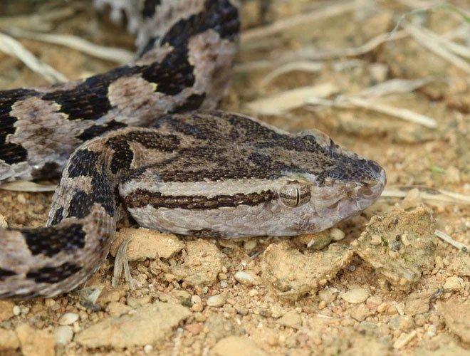 Trong tương lai con người sẽ có khả năng phun nọc độc như rắn?