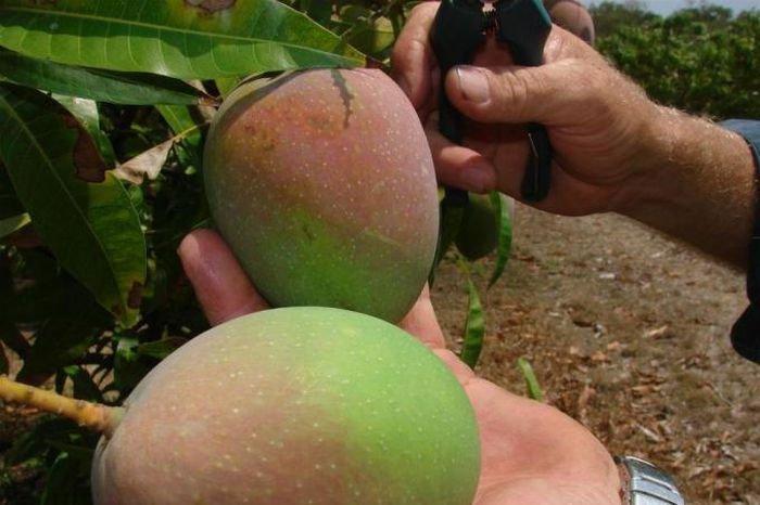 Trồng xoài kiểu Úc: Mẹo thúc cây ra quả sớm