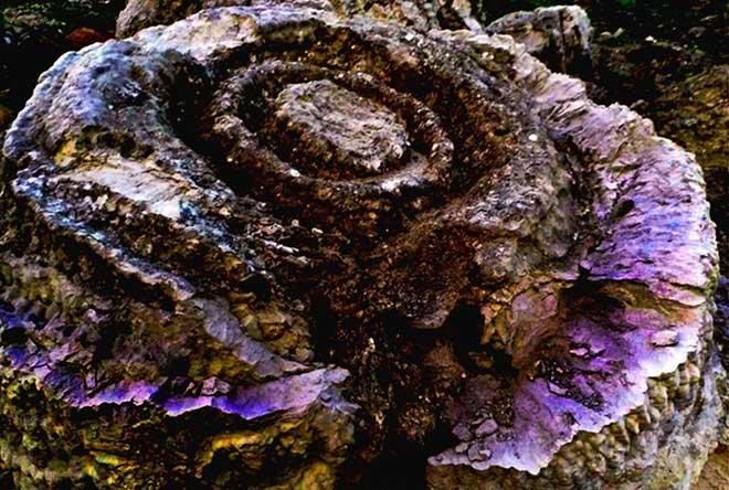 Trưng bày san hô hóa thạch hình hoa hồng 6.000 năm ở Lý Sơn