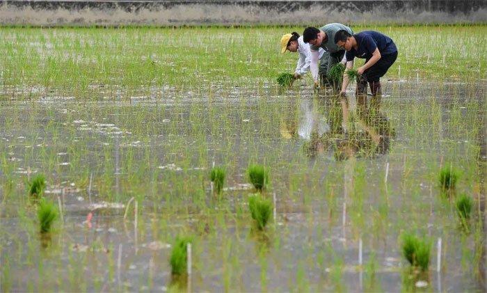 Trung Quốc trồng thử nghiệm lúa mang về từ tàu vũ trụ