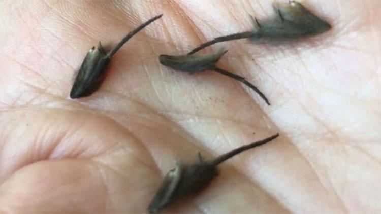 Truy tìm sinh vật lạ đang gây bão: Đuôi ngoe nguẩy như chuột nhưng chẳng ai biết là con gì