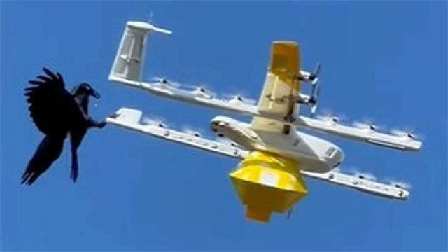 Tưởng nhầm là kẻ địch, quạ tấn công drone chở cà phê
