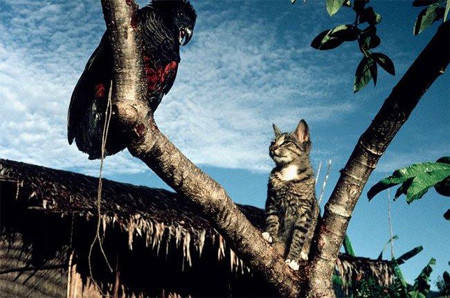 Úc: Bất ngờ loài vật hiền lành giết hơn 2 tỷ động vật hoang dã mỗi năm