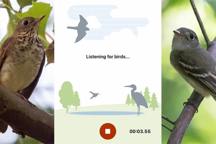 Ứng dụng Shazam cho chim nhận diện tiếng hót với độ chính xác không tưởng