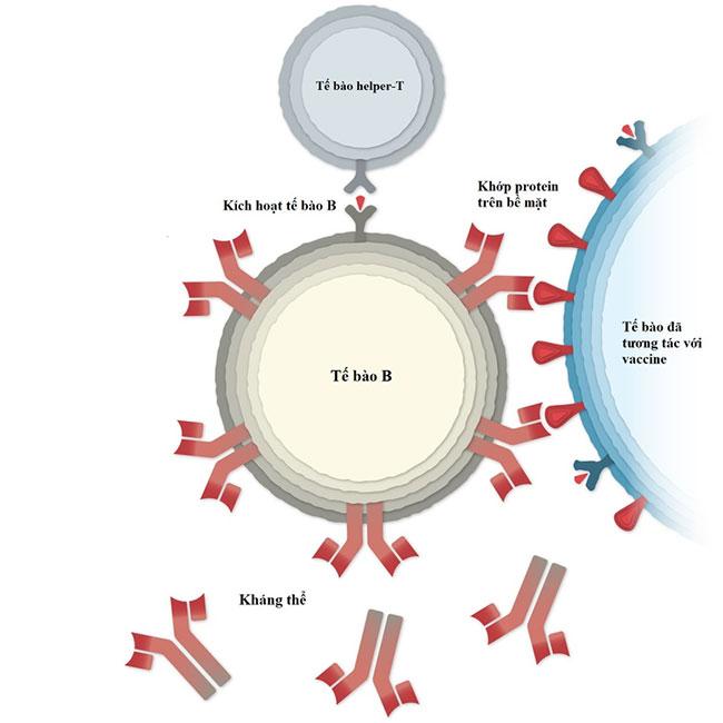 Vaccine Covid-19 của Pfizer hoạt động như thế nào?