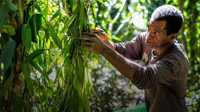 Vani - Loại hương liệu đắt thứ 2 thế giới với cái giá đầy biến động