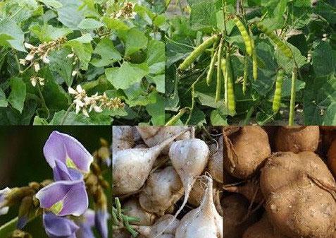 Vì sao ăn hạt củ đậu có thể tử vong?