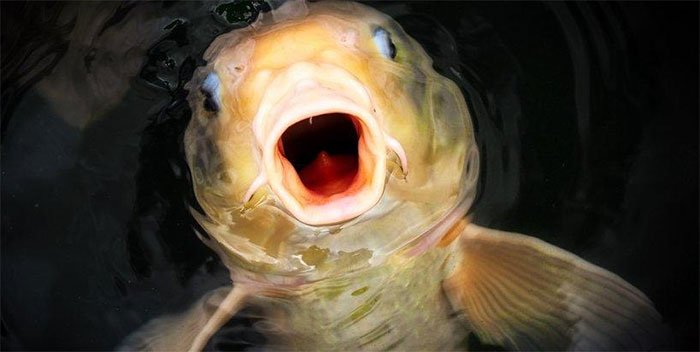 Vì sao cá có thể xuất hiện ở những vùng nước bị cô lập hoàn toàn?