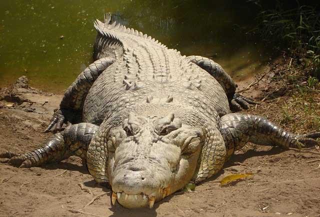 Vì sao cá sấu có thể làm thịt kẻ thù ngay cả khi ngủ?