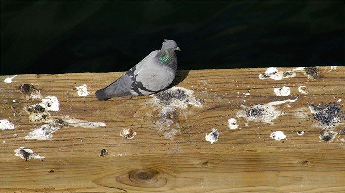 Vì sao chất thải của chim có màu trắng?