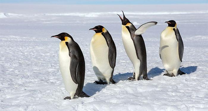 Vì sao chim cánh cụt thích đẻ trứng vào mùa đông?