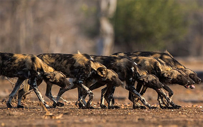 Vì sao chó hoang châu Phi được coi là thợ săn đỉnh nhất?