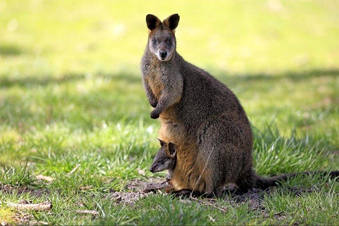 Vì sao chuột túi Wallaby mang thai suốt cả tuổi trẻ?