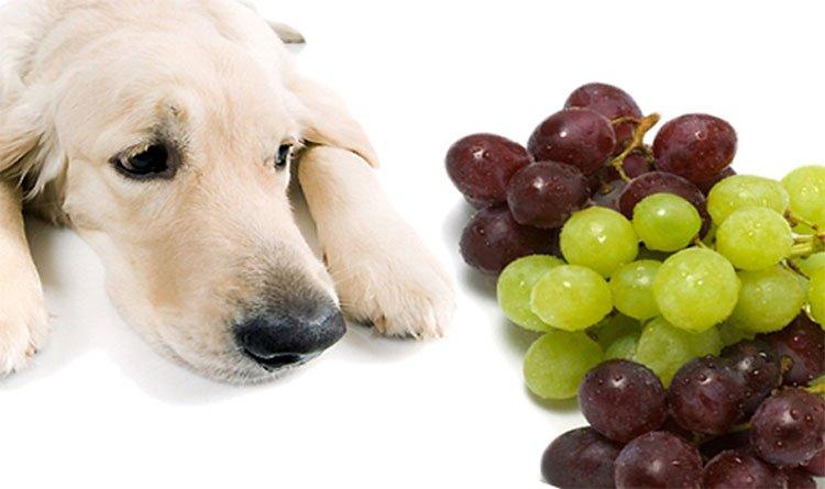 Vì sao không nên cho chó ăn nho?