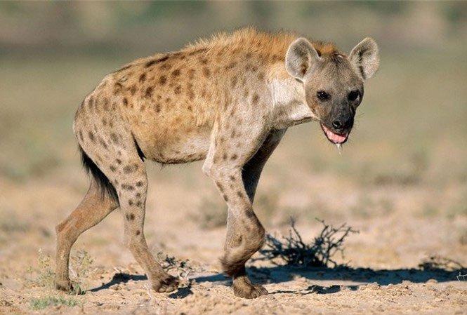 Vì sao linh cẩu được coi là loài động vật máu lạnh và tàn nhẫn?