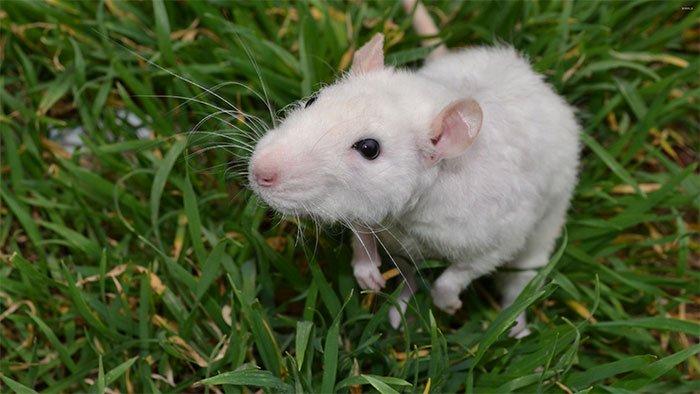 Vì sao loài chuột bạch có mặt khắp nơi trên thế giới?