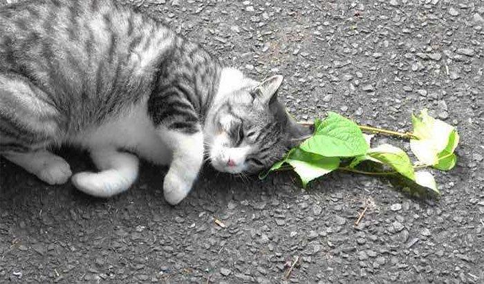 Vì sao mèo lại thích cây catnip?