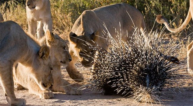 Vì sao sư tử lại thích săn nhím dù chúng có thể bị đau hoặc chết vì lông nhím?