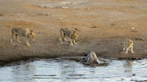 Video: 3 con sư tử quây lại tấn công tê giác mang thai sa lầy, kết quả bất ngờ