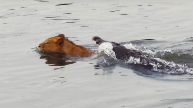Video: Bị cá sấu dìm xuống nước, sư tử vẫn có màn lật kèo khó tin