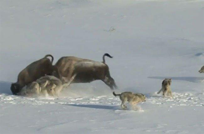 Video: Bò xạ hương ngốc nghếch vô tình tiếp tay để sói giết con