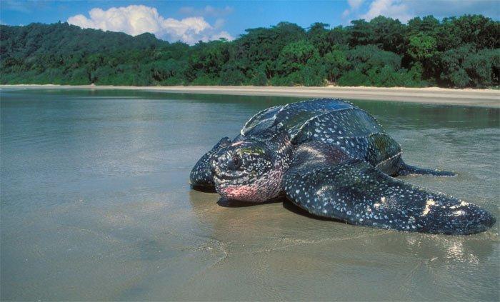 Video: Cận cảnh xe ben tới giải cứu rùa da khổng lồ đưa về biển