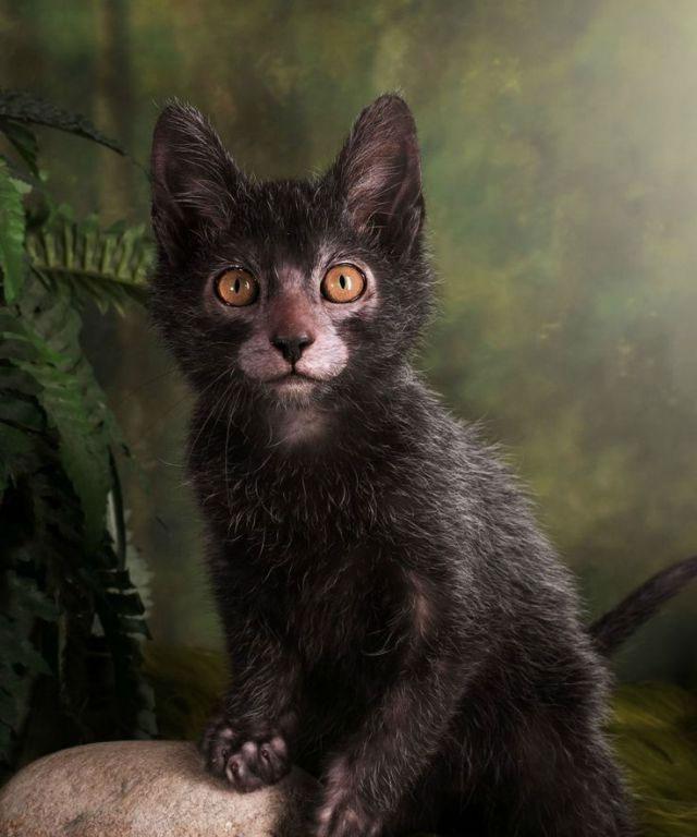 """Video: Chiêm ngưỡng tướng mạo kỳ lạ của mèo """"ma sói"""""""