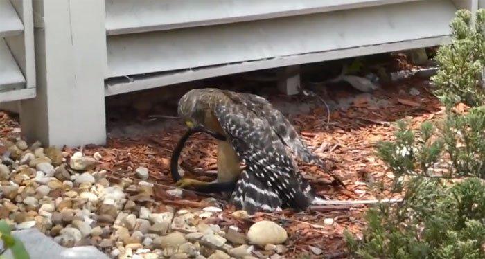 Video: Diều hâu sà xuống tấn công con rắn đen sì thì bị nạn nhân cắn trả, liệu kẻ nào sẽ tử nạn?