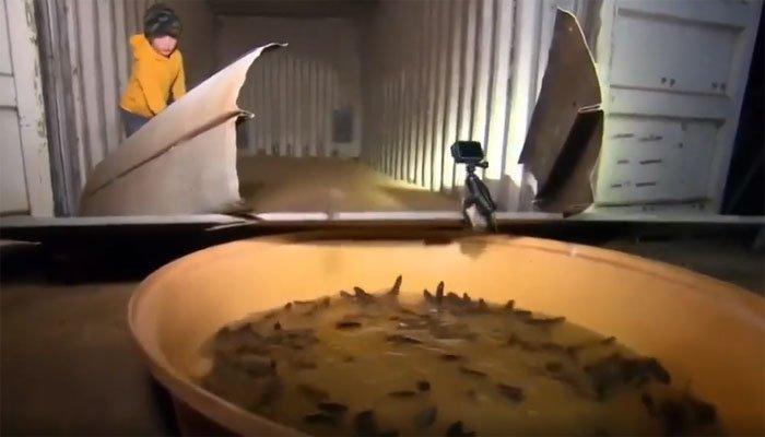 Video: Đứng trước đại dịch chuột, nông dân Úc chế tạo chiếc bẫy khổng lồ bắt hàng nghìn con mỗi đêm