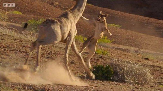 Video: Hươu cao cổ ra đòn hủy diệt, đạp sư tử cái nhừ xương