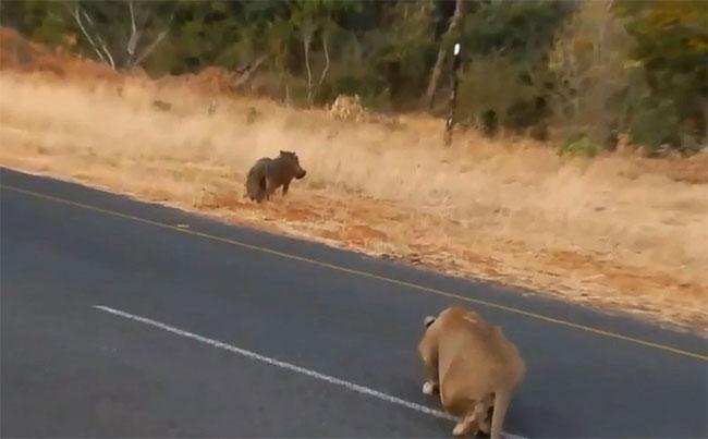 Video: Lợn rừng chết thảm trước sư tử vì không tin bạn