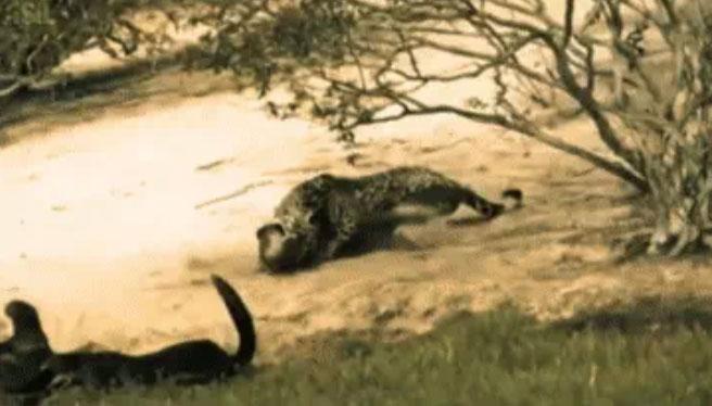Video: Rái cá đang phơi nắng thì giật mình vì bóng đen lao ra tấn công, số phận của nó sẽ ra sao?