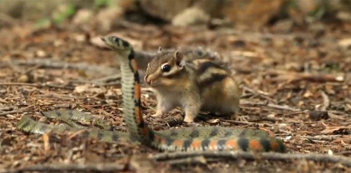 Video: Rắn độc mò vào lãnh địa của bầy sóc chuột kiếm ăn, kết cục sẽ ra sao?