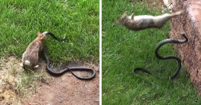 Video: Thỏ mẹ điên cuồng tấn công rắn độc để bảo vệ con