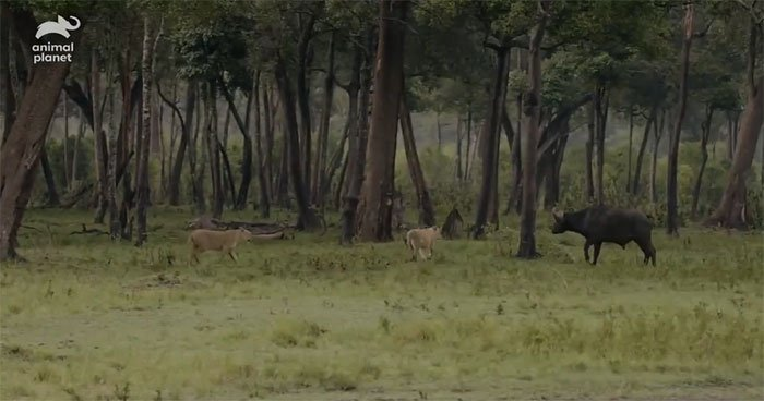 Video: Trâu rừng đang bị cả đàn sư tử vật dưới đất thì phép màu xảy ra giúp nó thoát chết